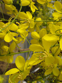 amaltas, laburnum, flowers, beauty, india, skincare, perfume